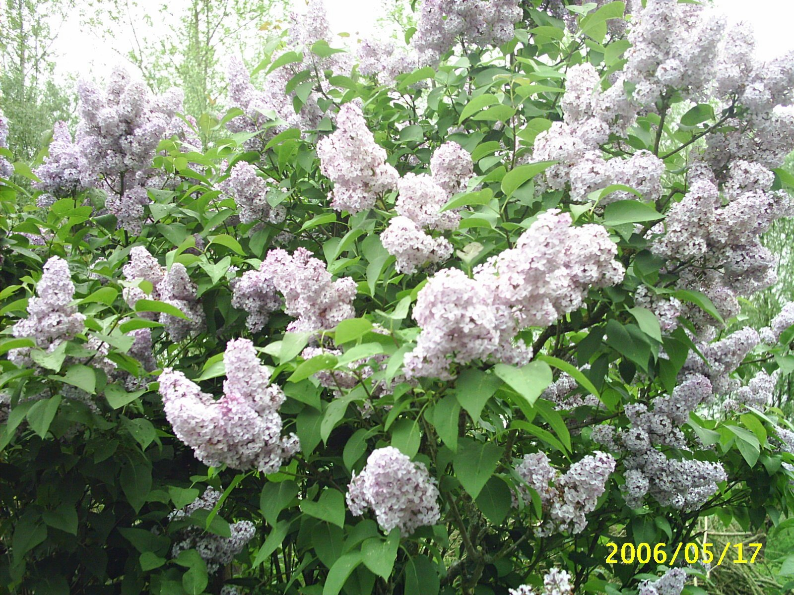 Melvin d photographies archives du blog syringa vulgaris - Au jardin de mon pere les lilas sont fleuris ...